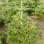 Juletræ (Normannsgran)